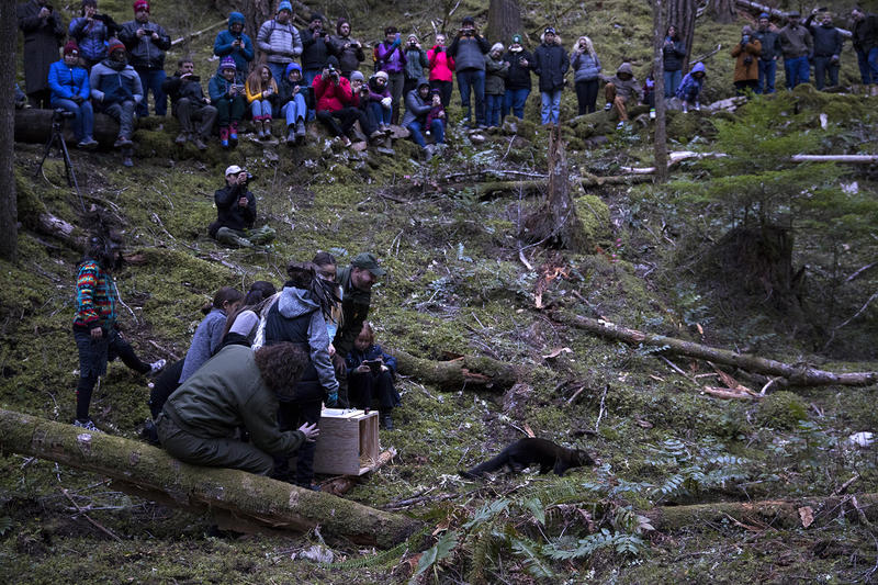 One of the six fishers is released on Wednesday December 5, 2018, at the North Cascades Visitor Center in Newhalem.
