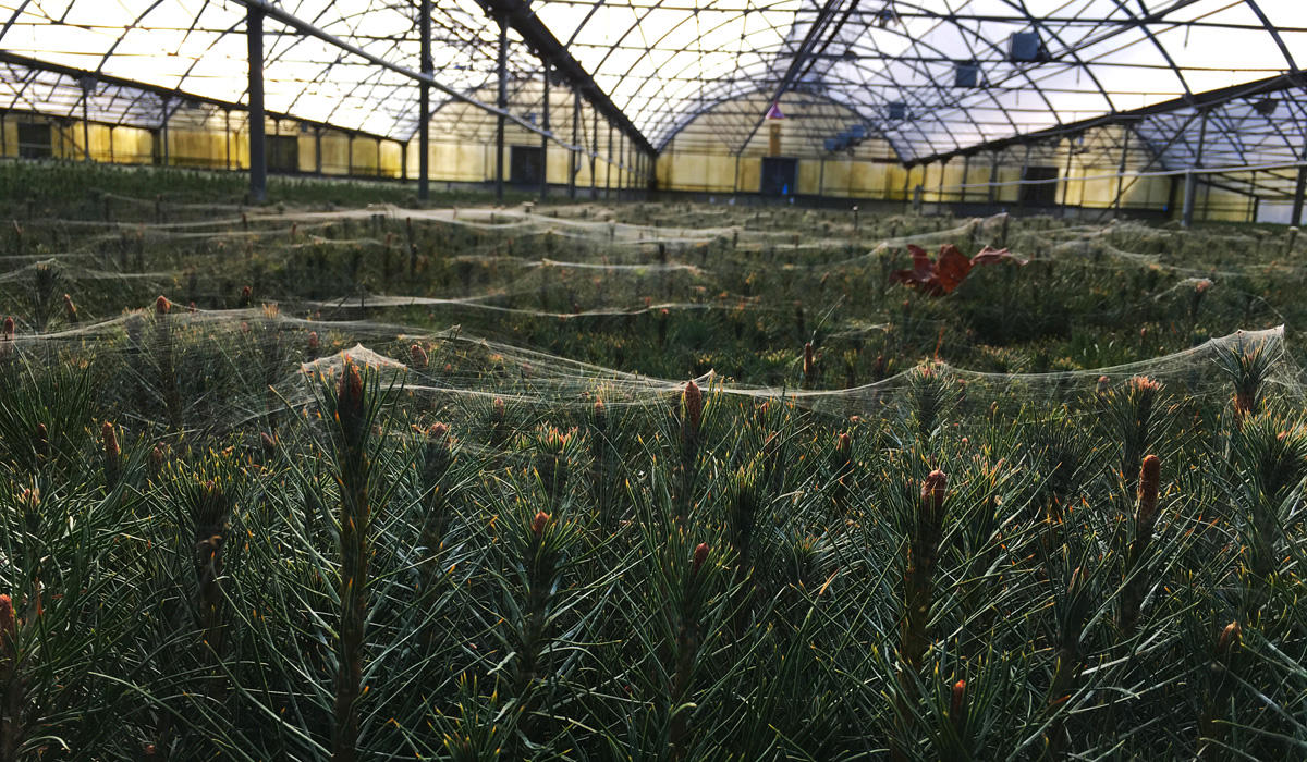 Spiders Weave Webby Hammocks Amid The Top Boughs Of Evergreen Seedlings In A Nursery There S Mive Seedling Shortage Across West And Nation