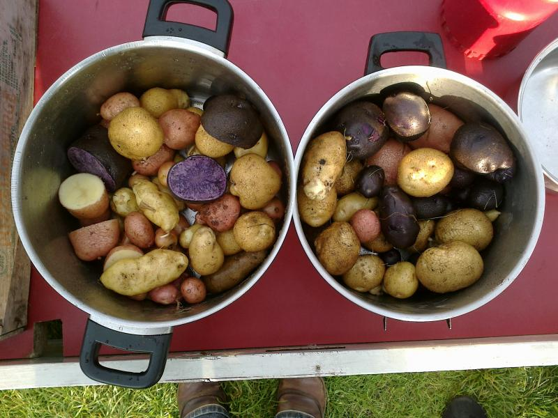 Purple potatos are one of the vegetables grown at Allmende Kontor.