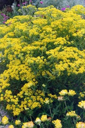 Yellow Tuft Alyssum, an invasive species growing in Oregon.
