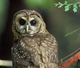 A new map dictating protected habitat of the northern spotted owl covers nine million acres of federal forest.