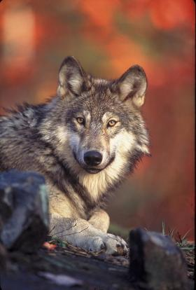 The Colville tribes have authorized the hunting of grey wolves, like the one pictured.