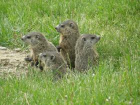 Propane-powered pest killers like are popular for exterminating gophers and groundhogs.