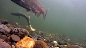 Chinook salmon spawning in a river.