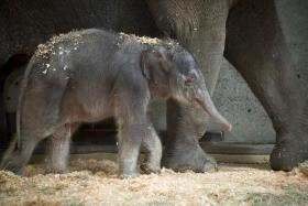 The Oregon zoo's new baby elephant.
