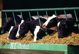 Feeding dairy cattle.