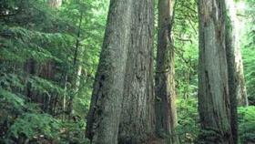 Old growth forest such as this may be affected by climate change.