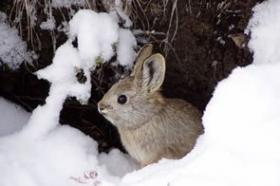 Washington's pygmy rabbits were federally listed as endangered in 2003.