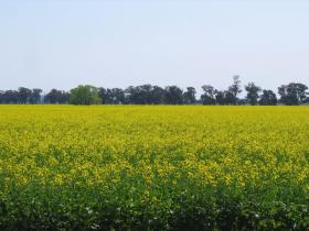 Willamette Valley farmers can now grow a total of 2,500 acres of canola a year.