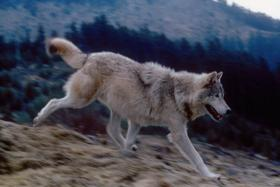 Two new wolf packs formed in Oregon last year. That brings the state's total to six packs.