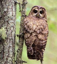 Conservation groups say the area near McKenzie Bridge includes spotted owl habitat.
