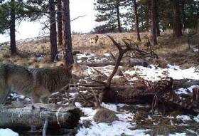 A new wolf pack was confirmed outside Wenatchee.