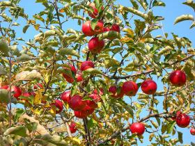 The practice of spraying antibiotics on pear and apple orchards to treat fire blight will soon be banned.