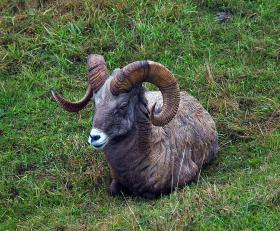 A herd of bighorn sheep has been infected with a disease that causes pneumonia.