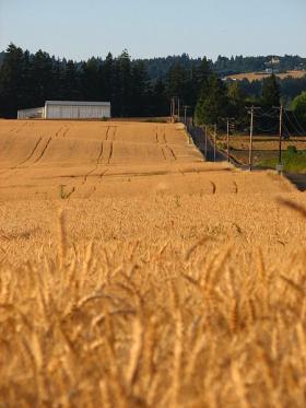 A field of wheat in Washington County, Oregon, just outside of Portland.