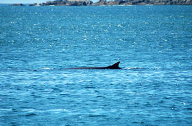 Fin whales are the second largest animals on the planet.
