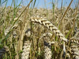 The U.S. Department of Agriculture is investigating how genetically modified wheat turned up in a field in Oregon.