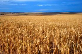 Japan has temporarily suspended white winter wheat purchases from the U.S.