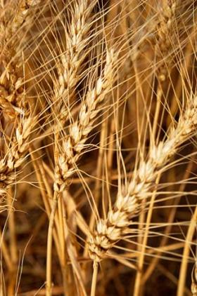 Scientists use a method called the polymerase chain reaction to identify genetically modified wheat.