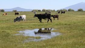 Cattle graze in a heavily irrigated pasture near the Wood River, an upper tributary of the Klamath. The State is ordering irrigators along the Sprague, Wood, and Williamson rivers to shut down.