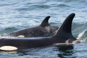 A73, also known as Springer, seen off central coast of Vancouver Island, BC on July 4th with baby