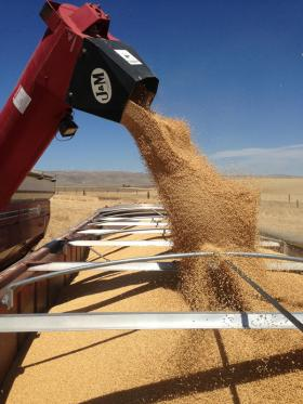 "A wheat combine offloads or ""banks out"" into a waiting truck near Patterson, Wash."
