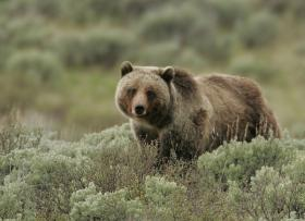 The Yellowstone grizzly bear is an omnivore, it eats meat, fruits, berries, grass and bugs.