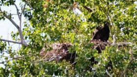 For the first time in more than 50 years, the Hanford Nuclear Reservation is now home to two baby bald eagles. Wildlife biologists say this is a good sign for bald eagles and for the area.