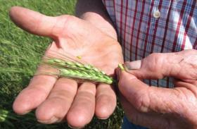 Nebraska farmer Larry Flohr, squeezes out a kernel of unripened wheat.