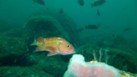 """A rockfish off Oregon's Cape Arago courtesy of Oceana"""