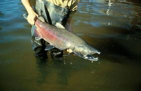 Salmon populations in the northwest have been in decline for the last 30 years.