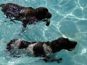 Pups of all kinds are guaranteed to have fun at dog day swims and animal lovers enjoy the canine frenzy all while supporting a good cause.