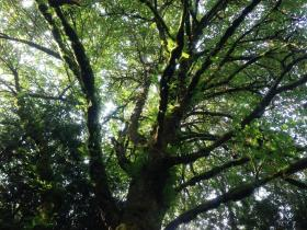 The massive canopy of a Big Leaf Maple as seen from the ground. Big Leaf Maples are found in western Washington, Oregon and parts of British Columbia.