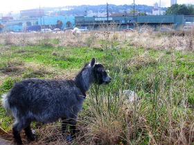 Over the years, the presence of goats has turned a vacant lot in an industrial district into something like a community petting zoo.