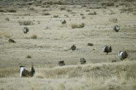 Sage grouse numbers have been dwindling as their habitat decreases.