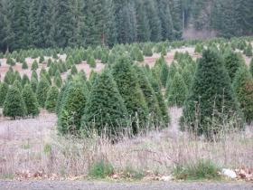 A root rot mold called Phytophthora is a serious problem for Christmas tree farmers who grow Fraiser Firs in North Carolina, and a form of the mold does affect some noble firs in Oregon.