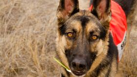 German shepherd Kia lifts her nose in the air, sniffs, and takes off. She's searching for missing hikers.