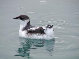 Conservation groups sued to prevent logging in forests that are home to the threatened marbled murrelet.