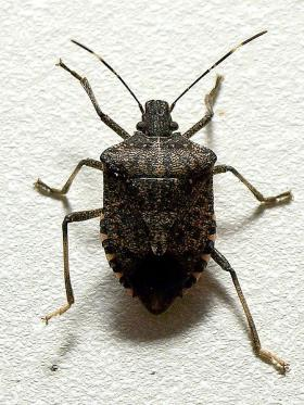 Originally from Asia, the brown marmorated stink bug first appeared in Pennsylvania in 1998. It has since made its way across the United States.