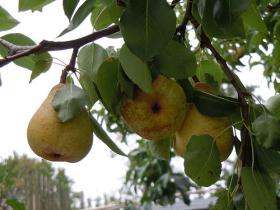 Pear growers say they're already spraying their orchards and they need plenty of water for that.