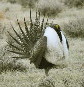 Biologists in the Northwest are working to boost the numbers of the greater sage grouse locally.