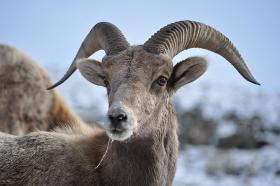Pneumonia is often deadly in Bighorn sheep.