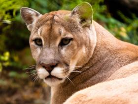 Often, young cougars are trying to avoid larger, older cats and they are forced toward more populated areas and farms.