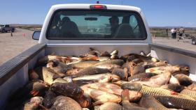 Invasive carp taken out of Malheur Lake are measured for height and weight to better understand the invasive fish that refuge staff are trying to reduce.