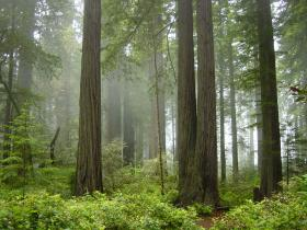 Oregon Wild says it's spotted a burl theft in one of Oregon's redwood groves in the far southwest part of the state.