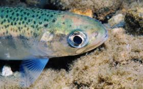 The federal government says people eat fish about once a month, rainbow trout is a common catch for fisherman and is found throughout the northwest.