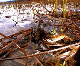 The Oregon spotted frog will now receive protection under the Endangered Species Act.