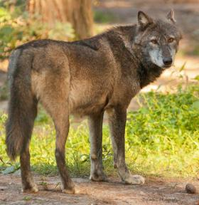 A rancher in northeastern Washington will be allowed to shoot wolves approaching his sheep herd.
