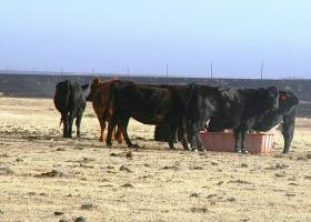 Cattle receiving fresh water and feed after being stressed by fire.