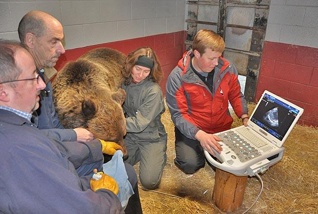 A group of Washington State University scientists performing an echocardiogram on an adult female grizzly bear named Kio during the hibernation period.